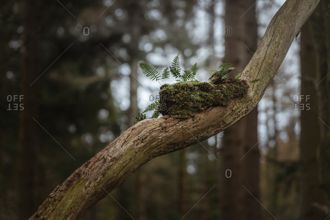 Dry branch of old tree with piece of moss and young fern sprouts growing from moss with blurred trees in background in forest park in Northern Ireland