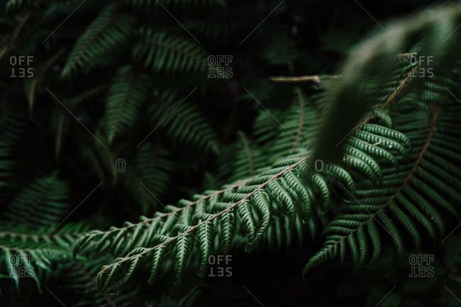 Beautiful background with young green fern leaves in tropical forest in New Zealand