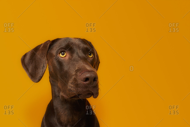 Obedient alert Vizsla dog with healthy glossy brown hair and amazing yellow eyes looking away with interest against vivid orange background in studio
