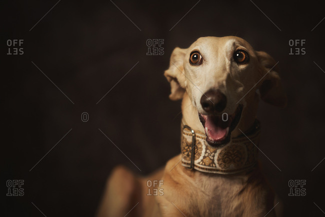 Obedient brown Longdog with mouth open in trendy wide collar looking away with surprise against dark blurred wall in studio