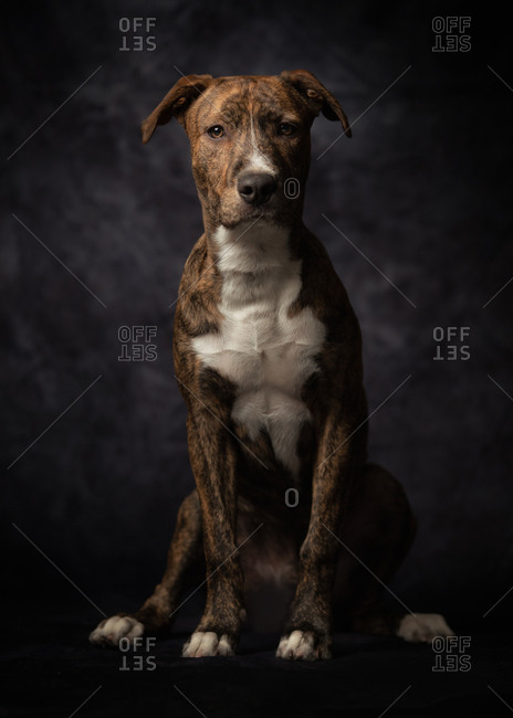 Proud adult spotted American Terrier dog