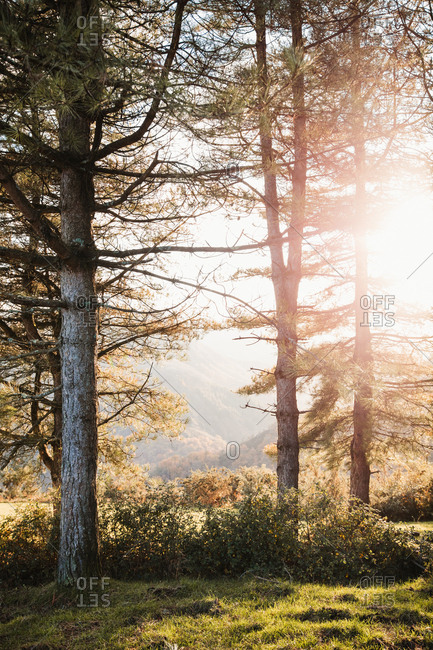 Sun shining through branches of pine trees and lightening green meadow in autumn forest in highland