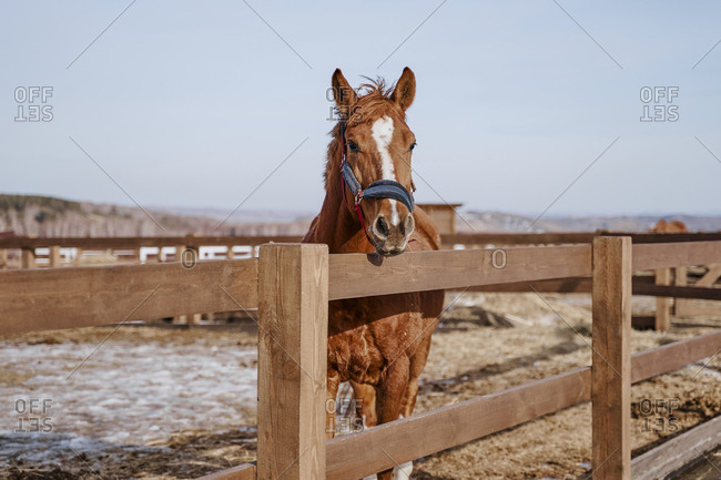 Large brown mammal with white spot in forehead in bridle at hippodrome with wooden fence
