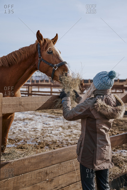 Side view of luxurious mane horse in bridle and woman in warm hat and jacket feeding by hay at yard in bright day