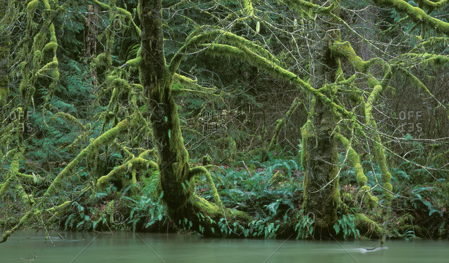 Moss covered trees in Cathedral Grove forest park, Vancouver Island British Columbia, Canada
