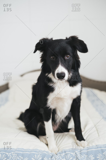 Rough coat border collie sitting on bed