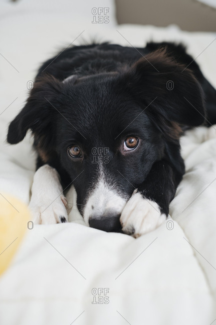 Cute collie dog hiding in blankets