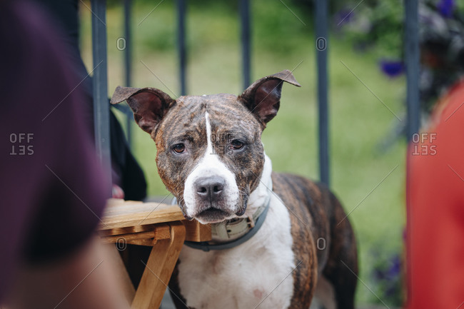 Close up of a beautiful American Staffordshire Terrier.