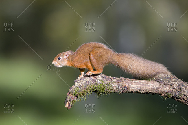 Red squirrel preparing to jump