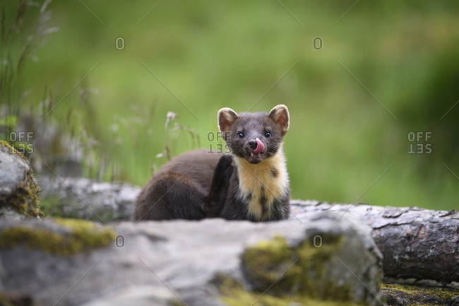 Close-up portrait of cute pine marten sticking out tongue on log