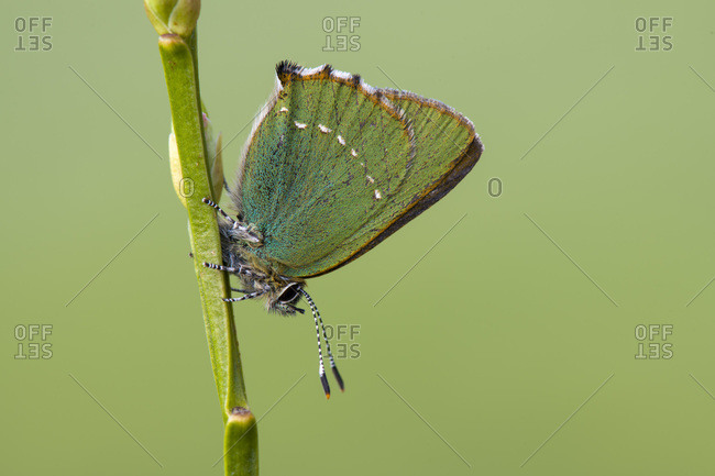 Close-up of green hairstreak butterfly on plant