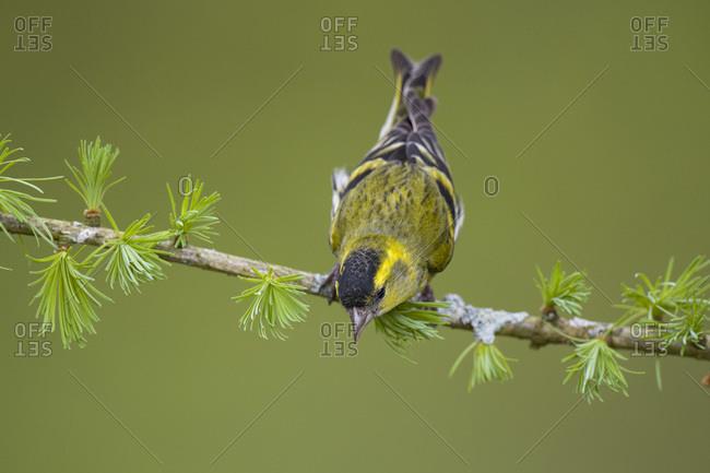 Close-up of eurasian siskin perching on twig