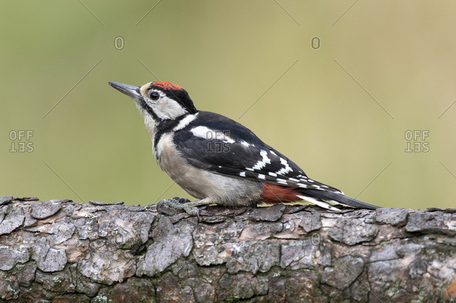 Close-up of great spotted woodpecker perching on tree trunk