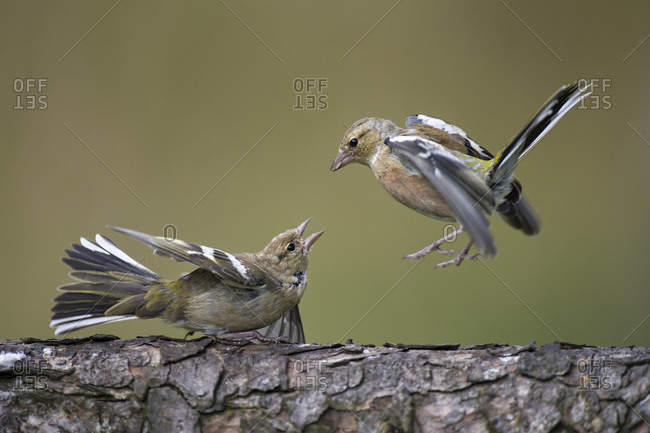 Close-up of chaffinches on tree trunk