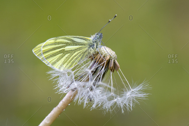 Close-up of green-veined white on flowers