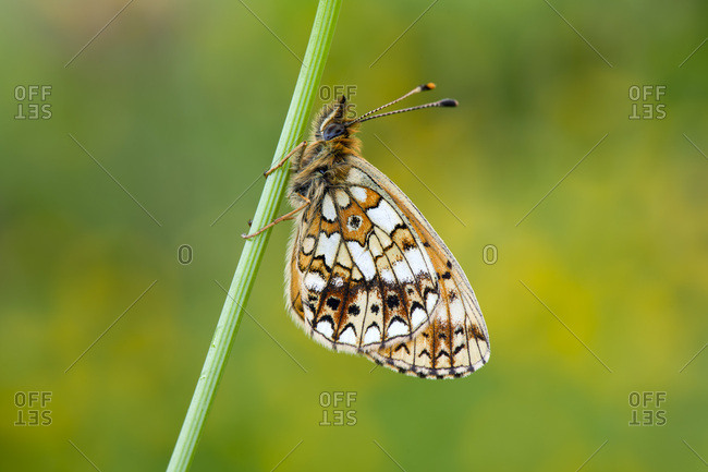 Close-up of pearl-bordered fritillary on plant stem