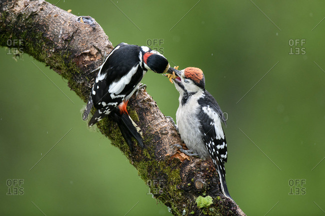 Close-up of great spotted woodpeckers on plant