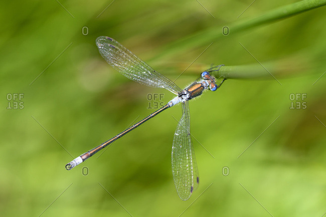 Close-up of male emerald damselfly on plant