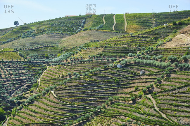 Portugal- Douro- Douro Valley- Aerial view of vineyards on hill