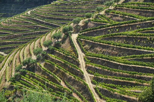 Portugal- Douro- Douro Valley- Vineyards on hill seen from above
