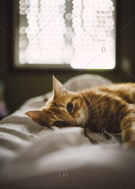 Portrait of cute ginger cat lying on bed at home