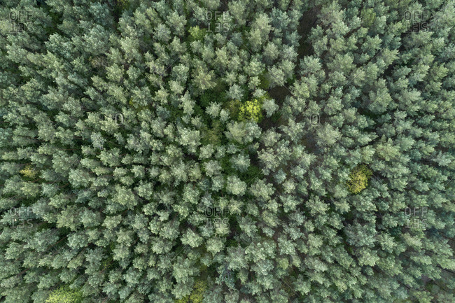 Germany- Mecklenburg-Western Pomerania- Aerial view of coniferous forest in early spring