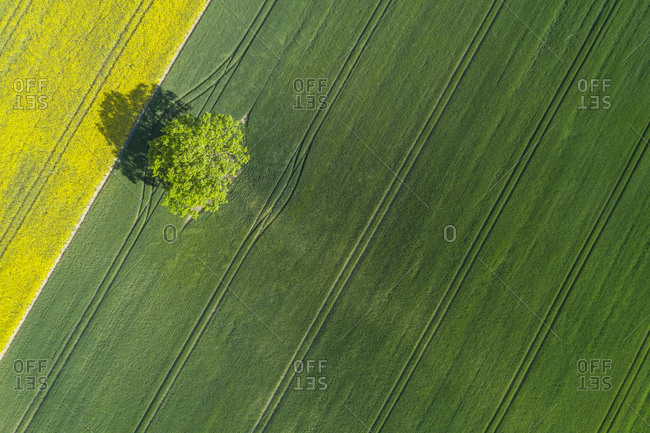 Germany- Mecklenburg-Western Pomerania- Aerial view of lone tree growing in vast wheat field in spring