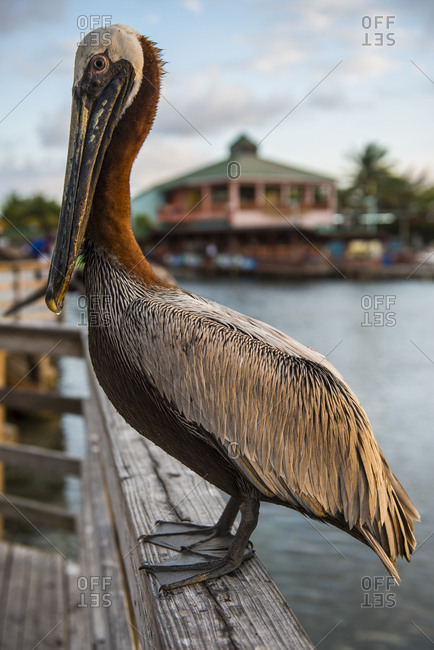 Close-up of pelican perching on railing at Ponce harbor- Puerto Rico- Caribbean