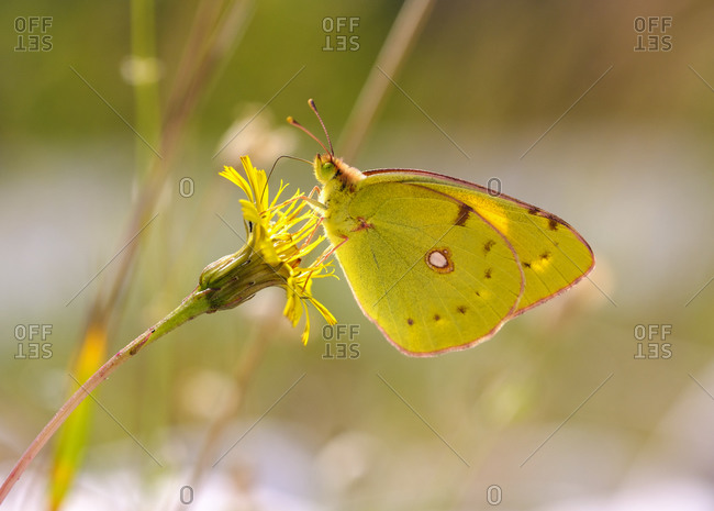 Close-up of yellow butterfly pollinating on flower- Mittenwald- Upper Bavaria- Bavaria- Germany
