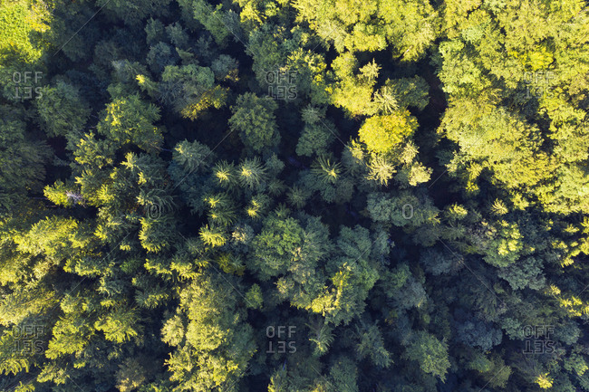 Germany- Upper Bavaria- Icking- Aerial view of green coniferous forest