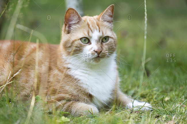 Germany- North Rhine-Westphalia- Essen- Portrait of brown cat lying in meadow