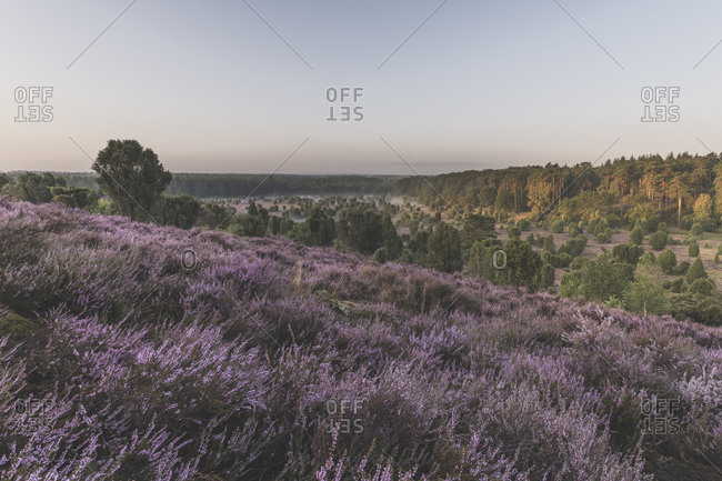 Germany- Lower Saxony- Luneburg Heath- Fields with heath at sunset