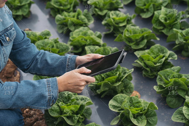 Close-up of woman with tablet in lettuce field
