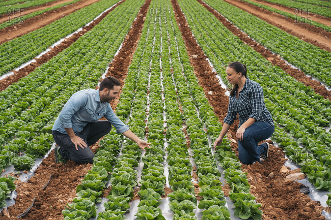 Man and woman examining lettuce in field