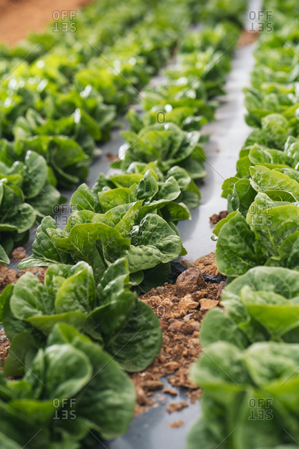 Close-up of lettuce field