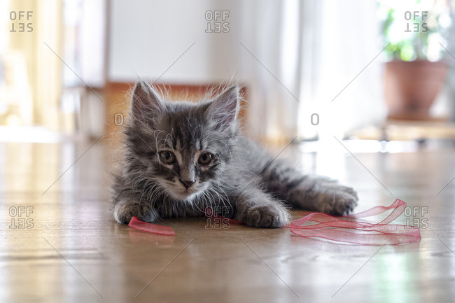 Portrait of cute fluffy kitten playing with ribbon on floor