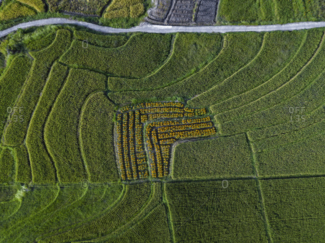 Aerial view of rice paddy in Bali- Indonesia