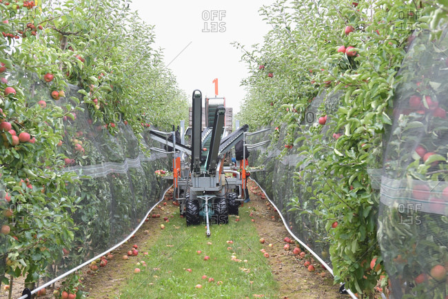 Apple harvesting on a plantation- harvester for automation