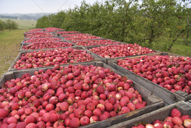 Boxes of freshly harvested apples on a fruit plantation