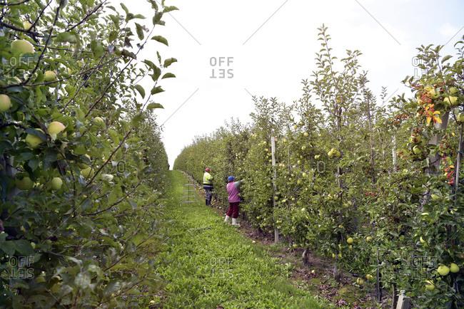 Harvester at work on a fruit plantation- harvesting apples