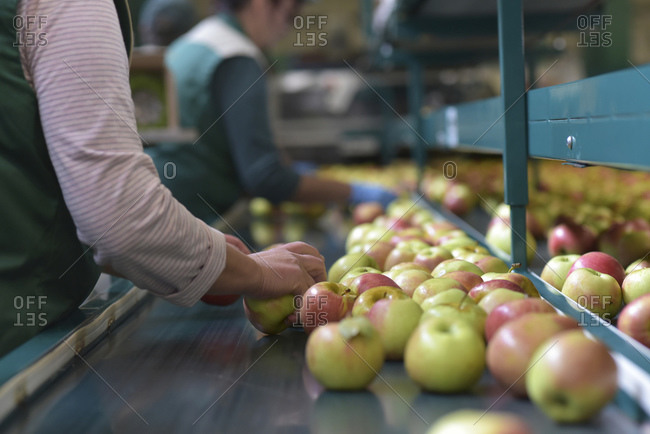 Female workers checking apples on conveyor belt in apple-juice factory