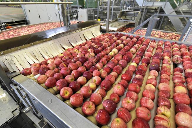 Conveyor belt with apples