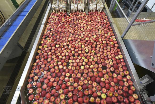Conveyor belt with apples in water