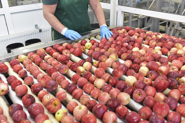 Female worker checking apples on conveyor belt in apple-juice factory