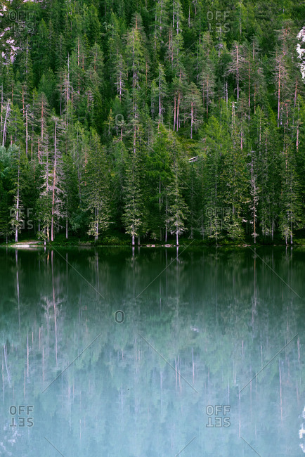 Green conifer trees growing in forest on shore and reflecting in water of tranquil lake in nature