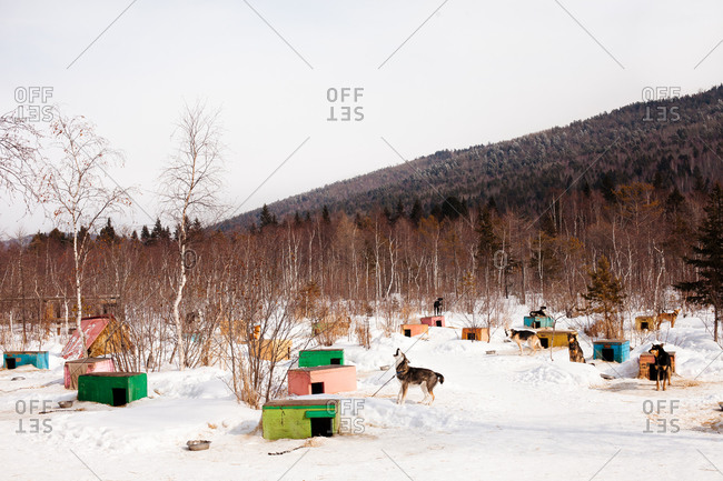 Dog howling by doghouse in rural winter setting