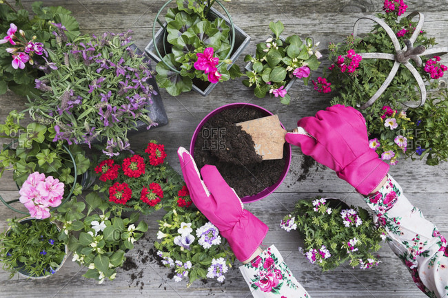 Hands of woman planting flowers