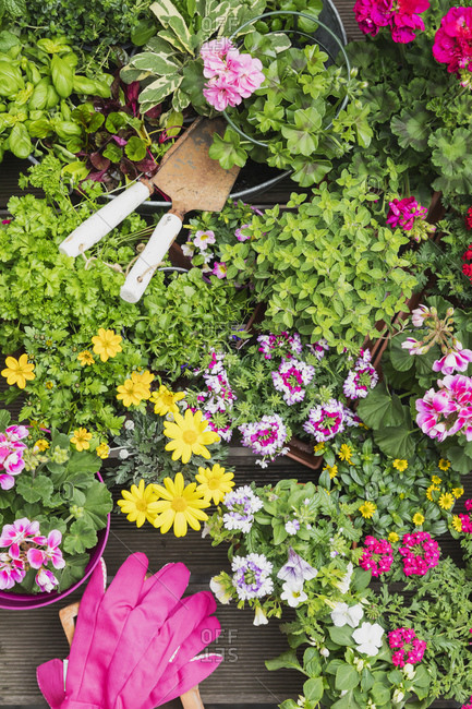 Colorful freshly potted summer flowers and herbs