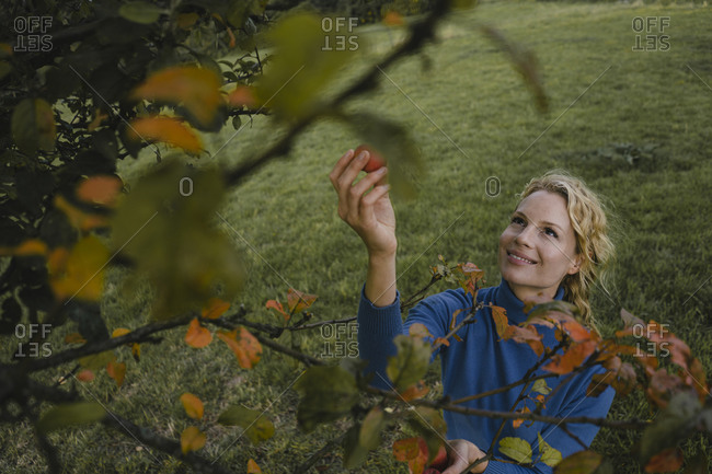 Smiling young woman picking apples from a tree in the countryside