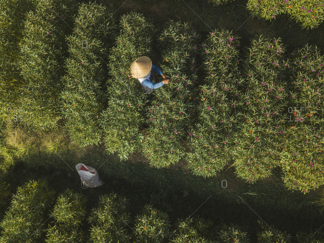 Indonesia- Bali- Aerial view of farmer working at flower plantation